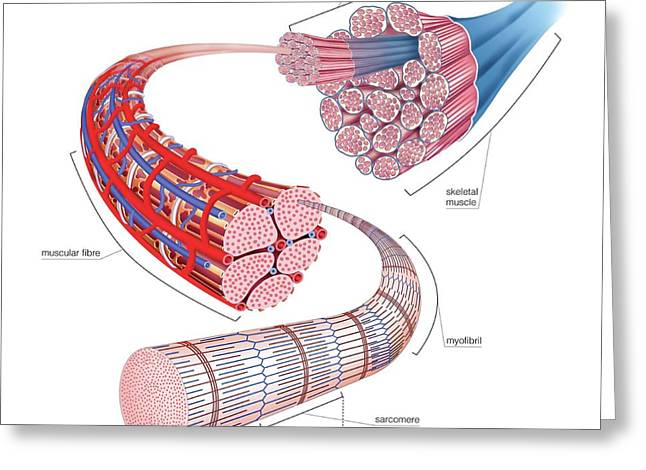 Structure Of Skeletal Muscle Greeting Card by Asklepios Medical Atlas
