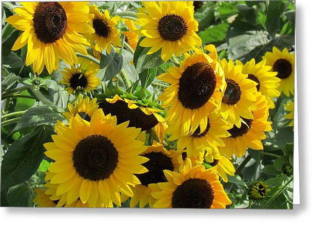 Sunflower Field Greeting Card by France Laliberte