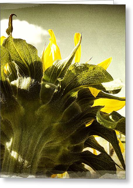 Sunflower Greeting Card by Les Cunliffe