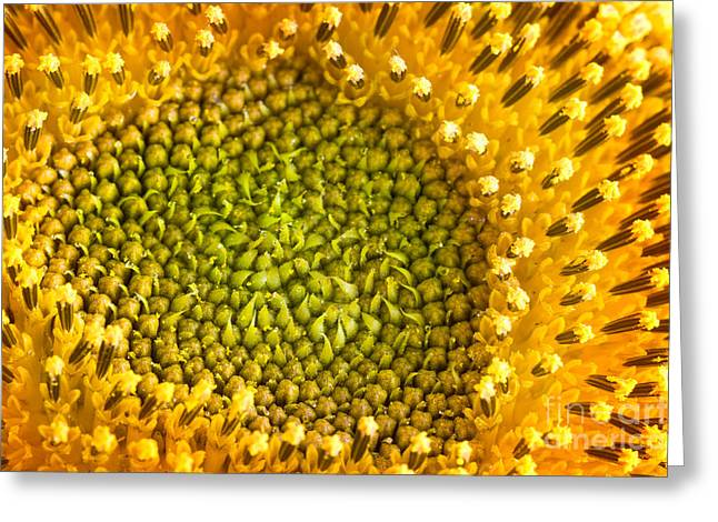 Sunflower Petals Greeting Card by Mythja  Photography