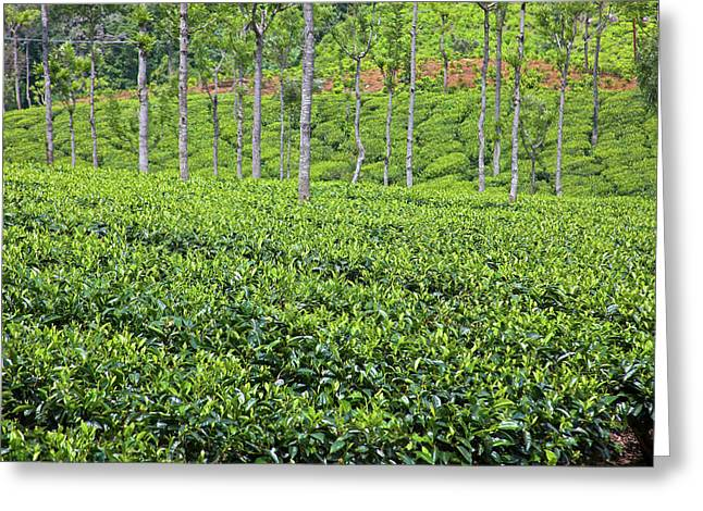 Tea Plants (camellia Sinensis Greeting Card by Connie Bransilver