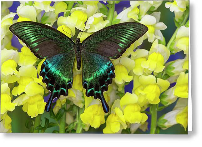 The Common Peacock Swallowtail Greeting Card