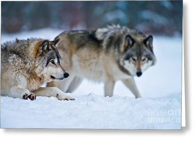 Timber Wolf Picture Greeting Card by Michael Cummings