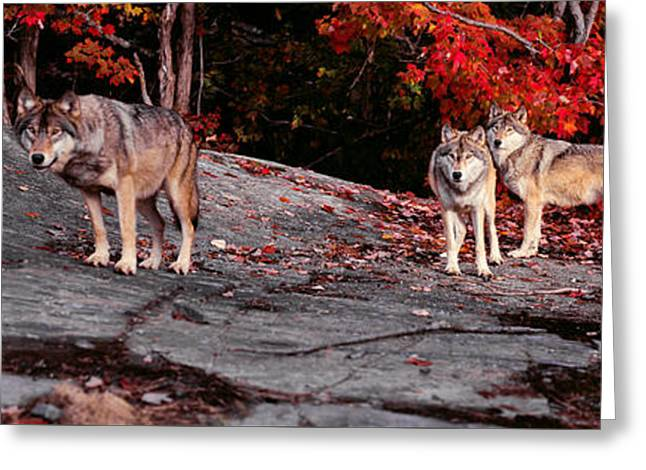 Timber Wolves Under A Red Maple Tree - Pano Greeting Card