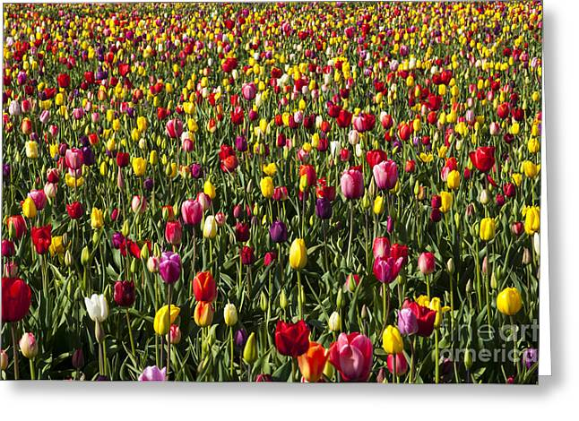 Tulip Field Greeting Card by Mandy Judson