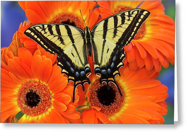Two-tailed Swallowtail Butterfly Greeting Card