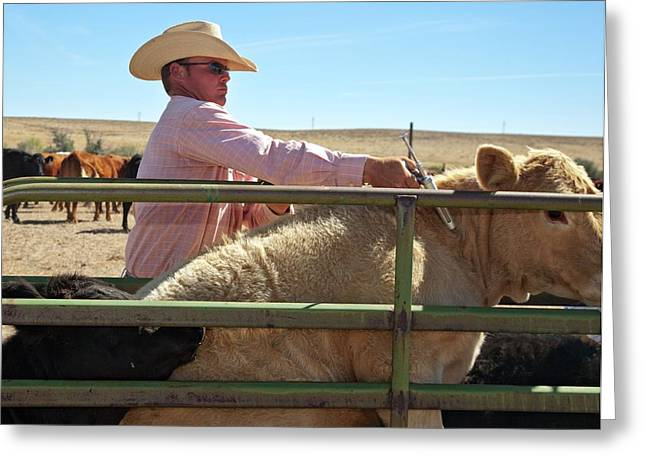 Vaccinating Cattle Greeting Card by Jim West