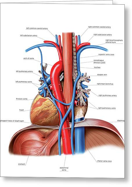 Vascular System. Lungs Greeting Card by Asklepios Medical Atlas