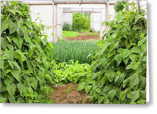 Vegetables Growing In Polytunnels Greeting Card