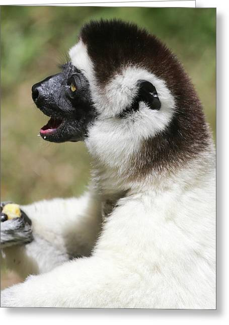 Verreaux's Sifaka (propithecus Verreauxi) Greeting Card by Photostock-israel