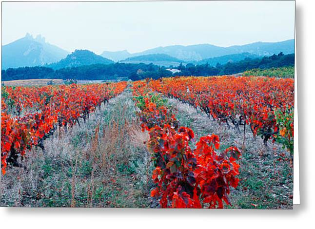 Vineyards In The Late Afternoon Autumn Greeting Card by Panoramic Images