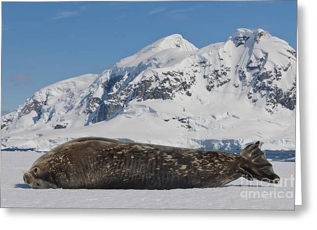 Weddell Seal Greeting Card by John Shaw