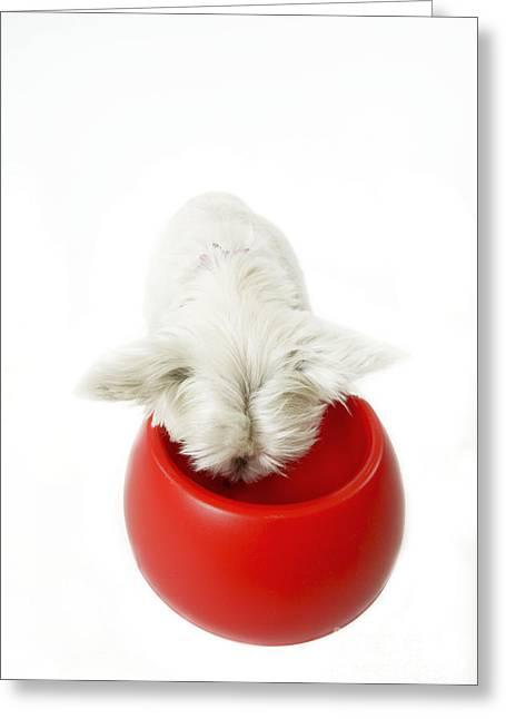 West Highland White Terrier Greeting Card by Jean-Michel Labat