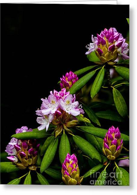 West Virginia State Flower Greeting Card by Thomas R Fletcher