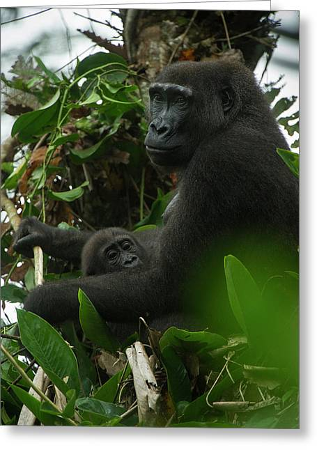 Western Lowland Gorilla, Ngaga Odzala Greeting Card by Pete Oxford
