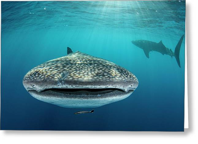 Whale Shark, Cenderawasih Bay, West Greeting Card by Pete Oxford