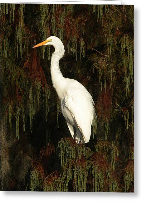 White Egret Greeting Card by Jeff Wright