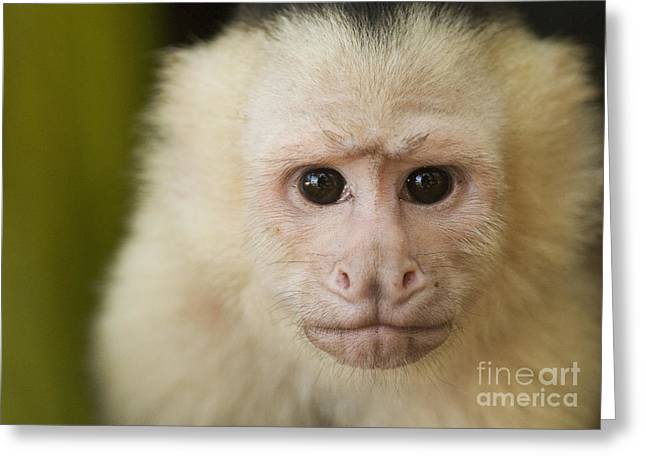 White-faced Capuchin Greeting Card by Dan Suzio