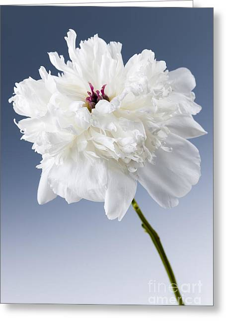 White Peony Flower Greeting Card by Elena Elisseeva