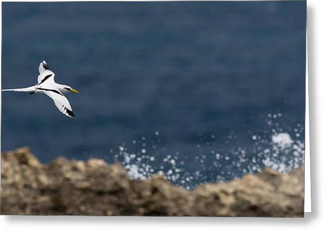 White-tailed Tropicbird Greeting Card