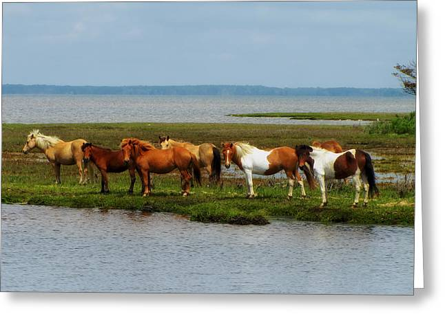 Wild Horses Of Assateague Island Greeting Card