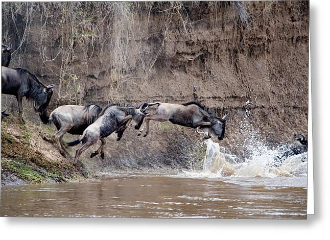 Wildebeests Crossing A River, Mara Greeting Card by Panoramic Images