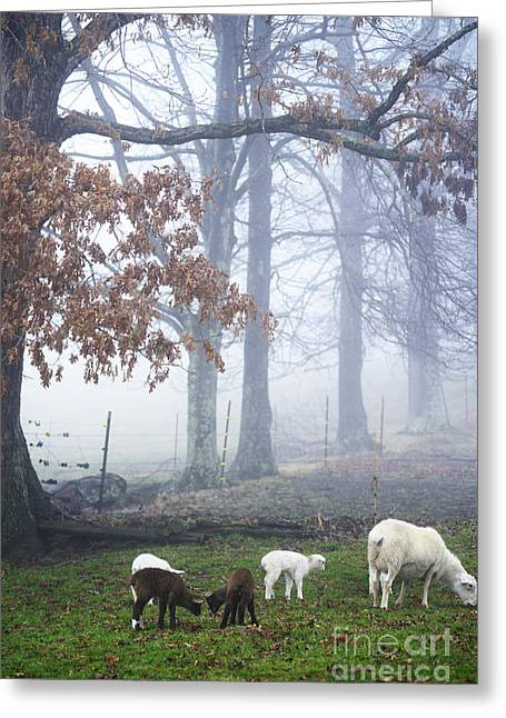 Winter Lambs Foggy Day Greeting Card by Thomas R Fletcher