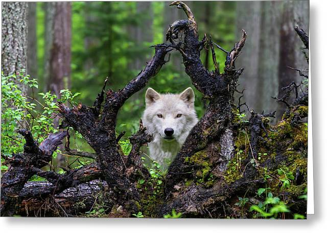 Wolf Greeting Card by Mike Centioli
