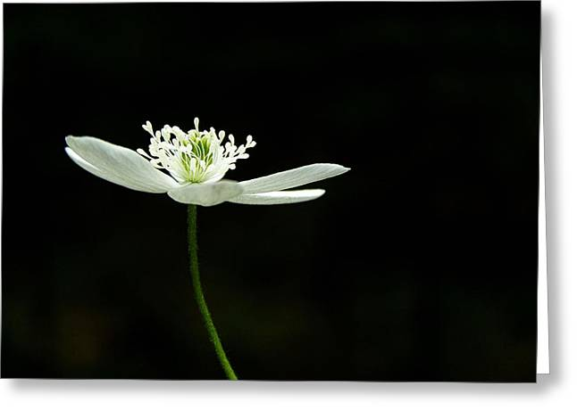 Wood Anenome Greeting Card