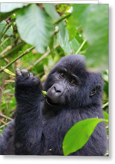 3-year-old Gorilla Baby In The Forest Greeting Card