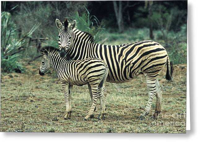 Zebras Greeting Card by Mark Newman