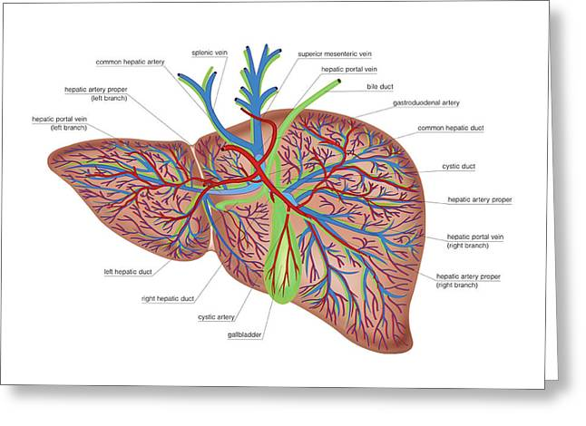 The Liver Greeting Card by Asklepios Medical Atlas