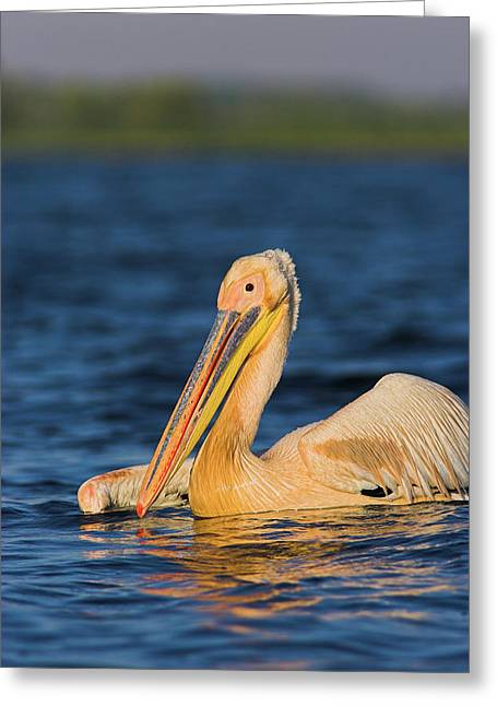Great White Pelican (pelecanus Greeting Card