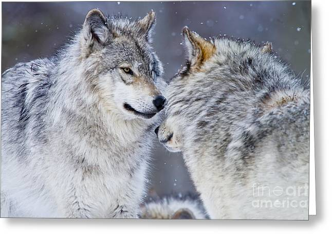 Timber Wolf Greeting Card by Michael Cummings