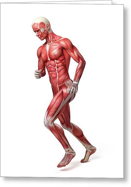Male Muscular System Greeting Card by Sebastian Kaulitzki