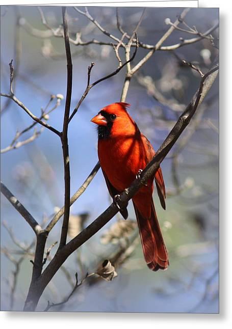 3477-006- Northern Cardinal Greeting Card