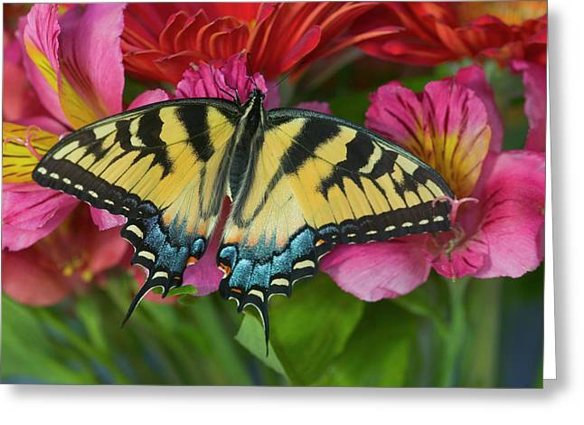 Eastern Tiger Swallowtail Butterfly Greeting Card