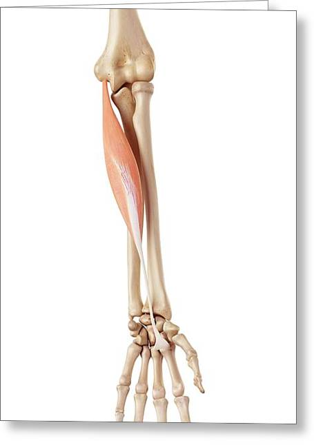 Muscles Of The Human Arm Greeting Card by Sebastian Kaulitzki/science Photo Library