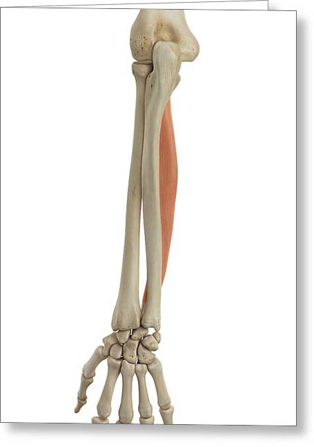 Human Arm Muscles Greeting Card by Sciepro