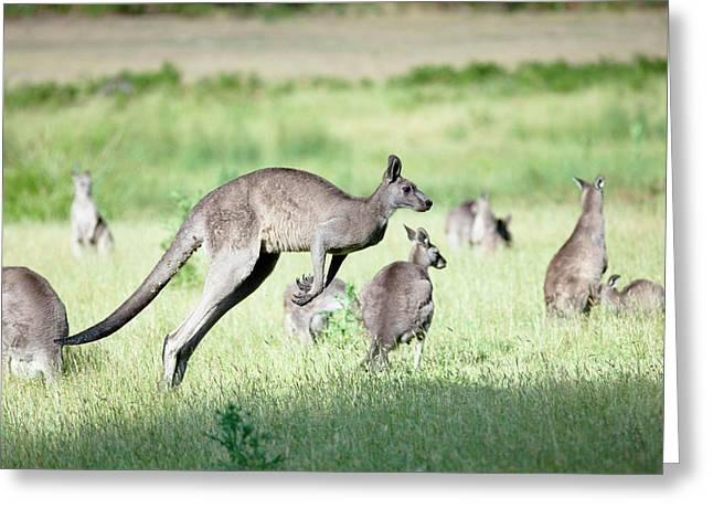 Eastern Grey Kangaroo (macropus Greeting Card by Martin Zwick