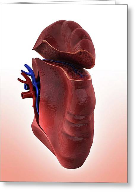Human Spleen Greeting Card by Pixologicstudio