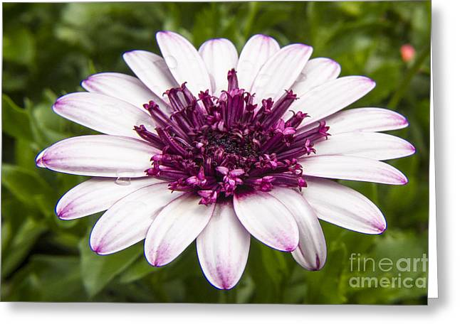 3d Berry White Cape Daisy - Osteospermum  Greeting Card