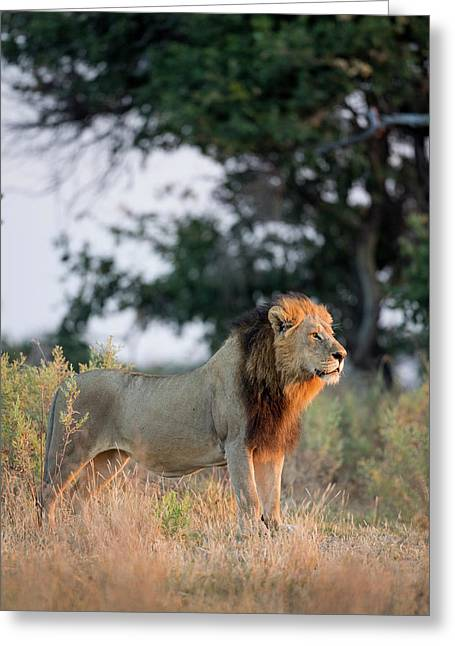 Africa, Botswana, Moremi Game Reserve Greeting Card by Paul Souders