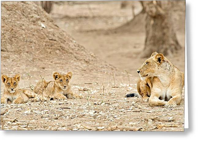 African Lions Greeting Card