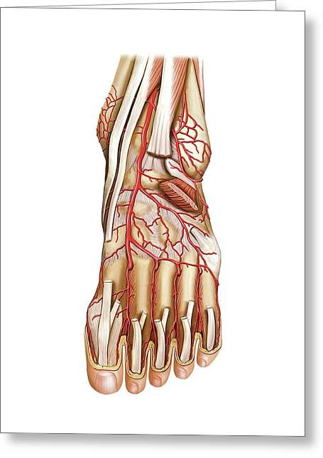 Arterial System Of The Foot Greeting Card
