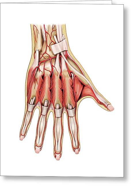 Arterial System Of The Hand Greeting Card