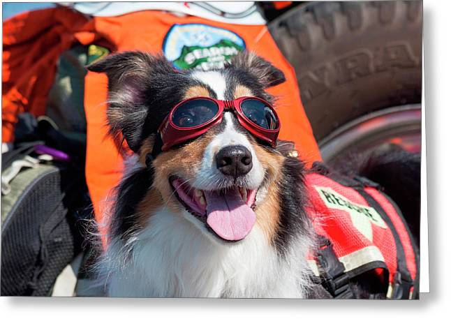 Australian Shepherd Search And Rescue Greeting Card