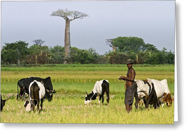 Avenue Of The Baobabs, Madagascar Greeting Card by Science Photo Library