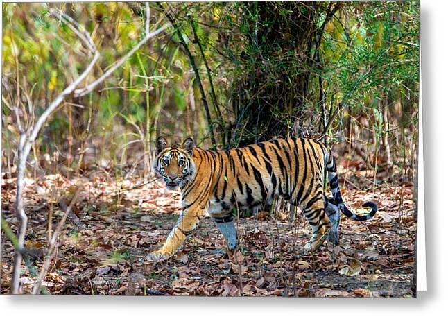 Bengal Tiger Panthera Tigris Tigris Greeting Card