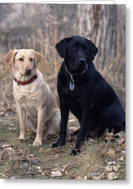 Black And Yellow Labrador Retrievers Greeting Card